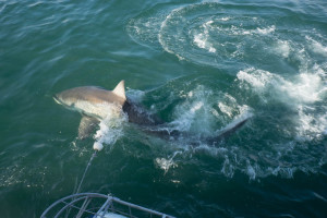 South Africa - Putting ourselves into a cage next to Great White Sharks
