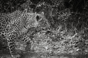 Botswana - Chasing after a Leopard